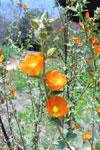 apricotmallow4