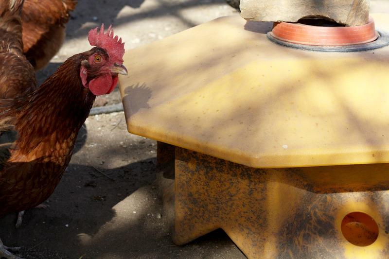 chickens, chicken coop, organic eggs, cooking school, health retreat, health spa, destination spa