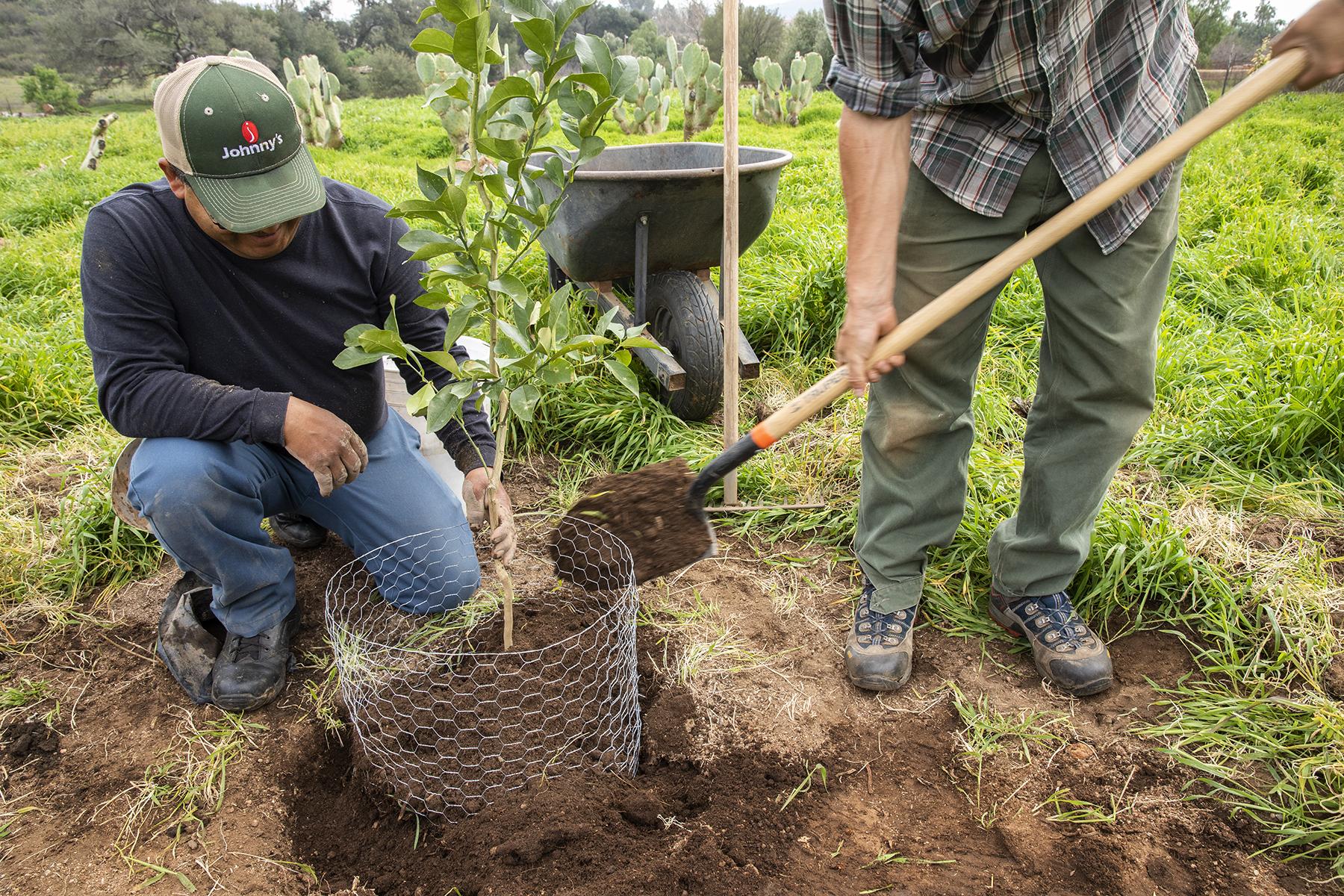 Plant Citrus Trees