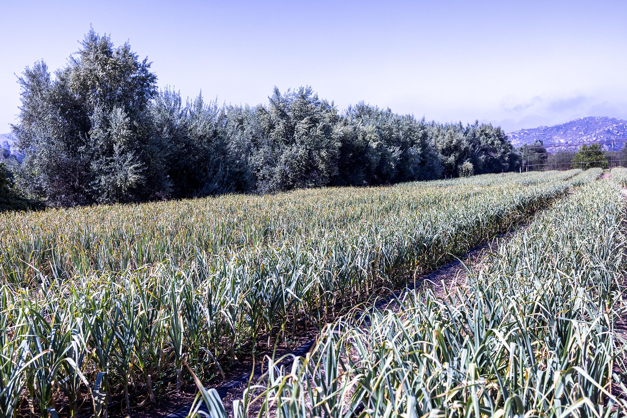 organic farm, spring garlic, regenerative agriculture